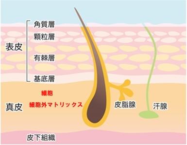 肌内部の構造は3層に分かれている
