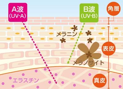紫外線のA波(UVA)とB波(UVB)